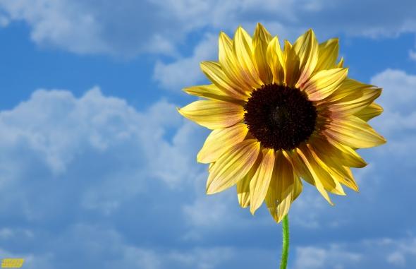 sunflower-4039b