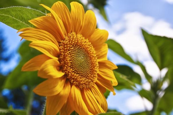 sunflower-6295